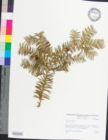 Taxus baccata image