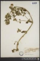 Ballota nigra image