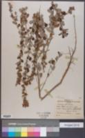 Image of Lespedeza floribunda