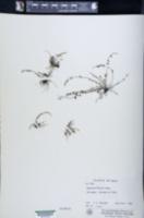 Asplenium palmeri image
