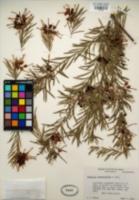 Image of Grevillea rosmarinifolia
