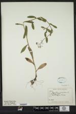 Myosotis scorpioides image