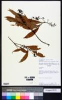 Image of Nectandra angustifolia