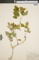 Rubus pubescens image