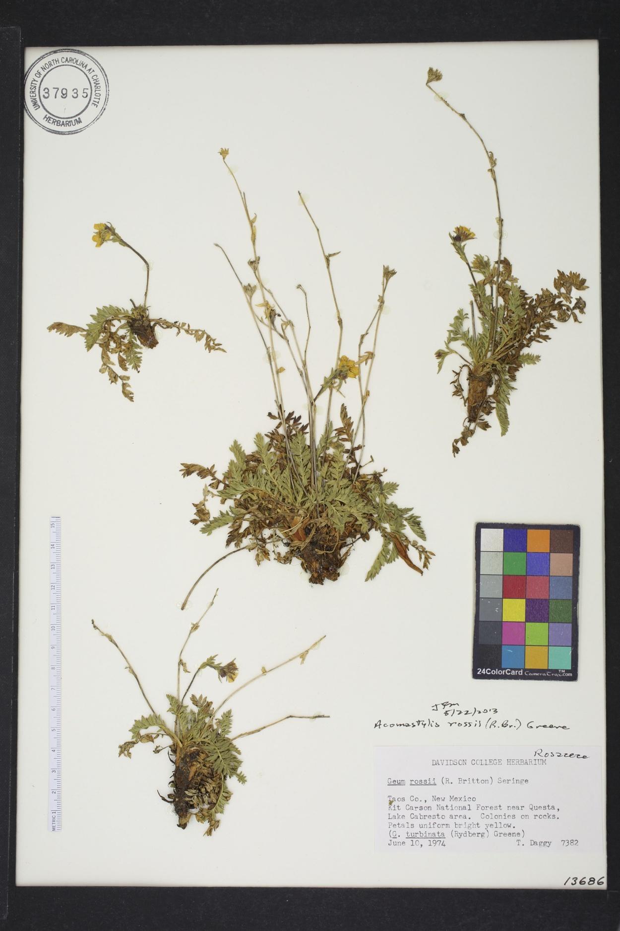 Acomastylis image