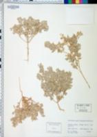 Atriplex caput-medusae image