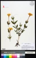Ruellia noctiflora image