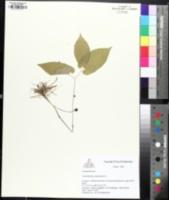 Endodeca serpentaria image