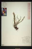 Asplenium trichomanes subsp. trichomanes image