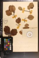 Crataegus boyntonii image