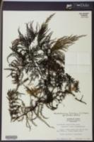 Image of Vandenboschia tubiflora