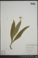 Clintonia umbellulata image