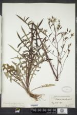 Lactuca canadensis image