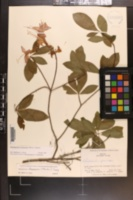 Rhododendron flammeum image