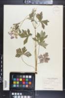 Geranium maculatum image