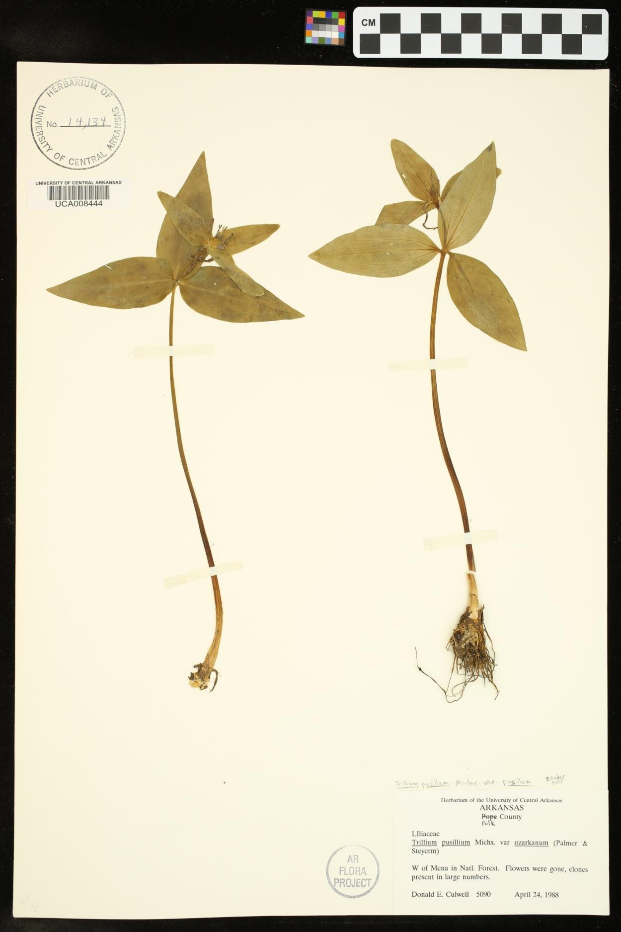 Trillium pusillum var. pusillum image