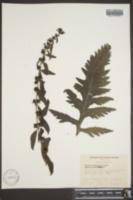 Dasistoma macrophylla image