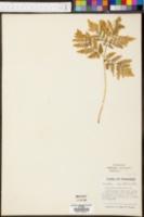 Botrypus virginianus image
