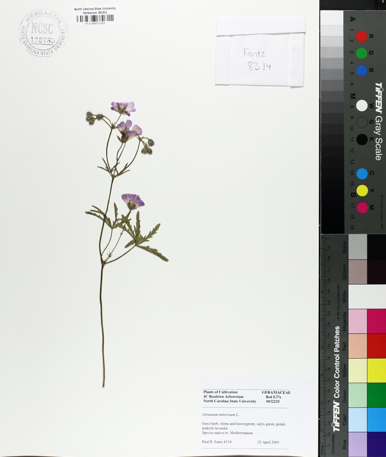 Geranium tuberosum image
