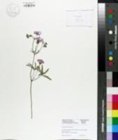 Image of Geranium tuberosum