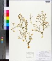 Fagonia pachyacantha image