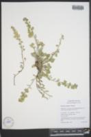 Image of Physaria oregona