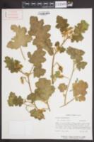 Image of Solanum campechiense