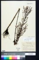 Hypericum harperi image