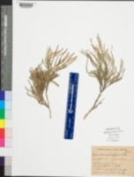 Lycopodium sabinifolium image
