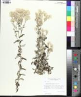 Image of Pseudognaphalium biolettii