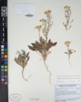 Chylismia claviformis subsp. yumae image