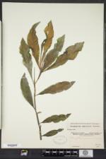 Potamogeton amplifolius image