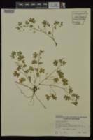 Geranium pusillum image