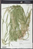 Holcus lanatus image