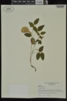 Clitoria mariana image