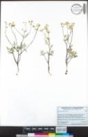 Sanicula tuberosa image