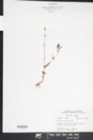 Image of Collinsia violacea