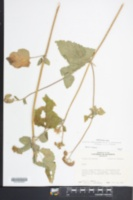 Ageratum houstonianum image