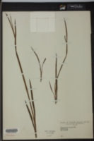 Image of Sisyrinchium anceps