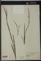 Image of Sisyrinchium anceps