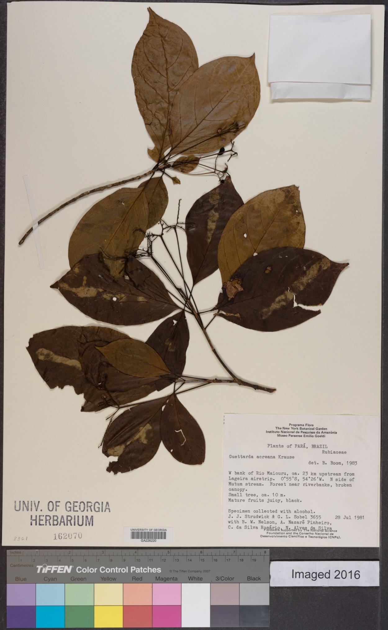 Stenostomum acreanum image
