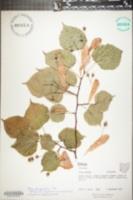 Image of Tilia platyphyllos