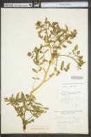 Image of Rorippa nasturtium