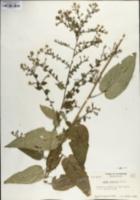 Symphyotrichum shortii image