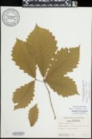 Quercus michauxii image
