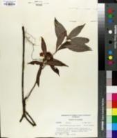 Image of Psychotria sulzneri