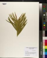 Cycas revoluta image