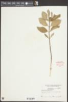 Asclepias amplexicaulis image