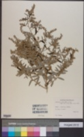 Image of Artemisia argyi