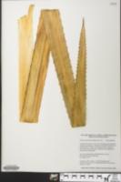 Ananas ananassoides image